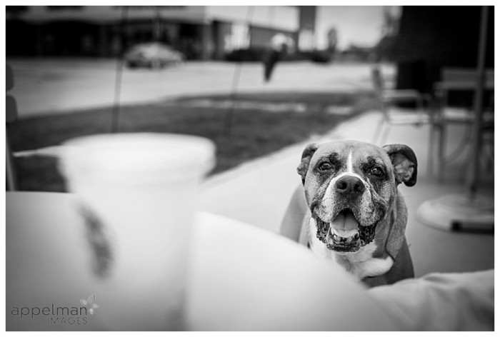 handsome stranger boxer dog at starbucks naperville 230-365 2014