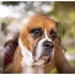 Reflection and Portrait Boxer Dog through glass Naperville Family lifestyle photographer 164-365 2014