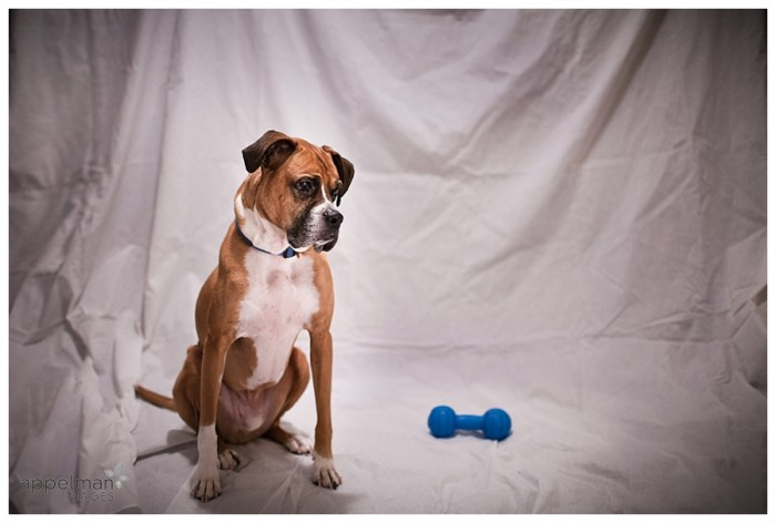 Emotive Naperville Dog with blue toy is family too in home portrait color 17-365 2014