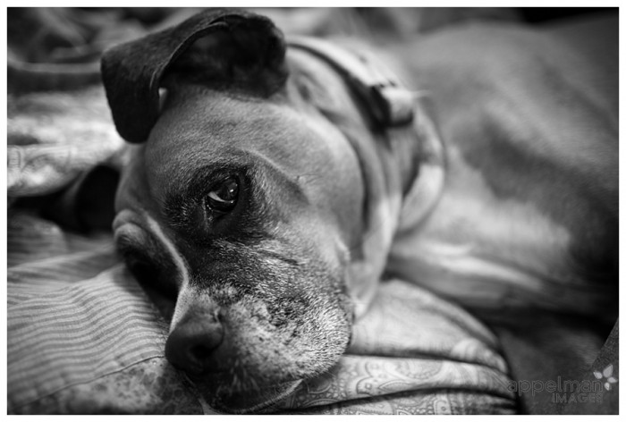 Brother Gus Boxer Dog portrait with floppy ear naperville family and pet photographer 203-365 2014