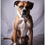 Boxer Dog color portrait dramatic 25-365 2014